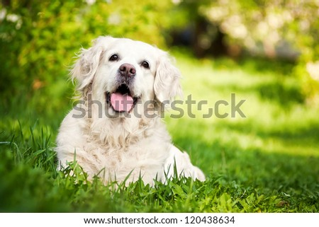 Happy Golden Retriever stay on the grass in the summer - stock photo