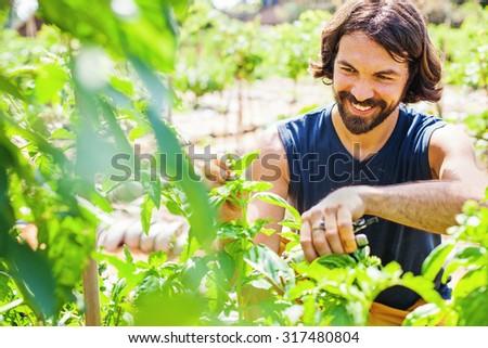 happy handsome bearded gardener picking basil - stock photo