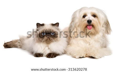 Happy havanese dog and a young persian cat lying together, isolated on white background - stock photo