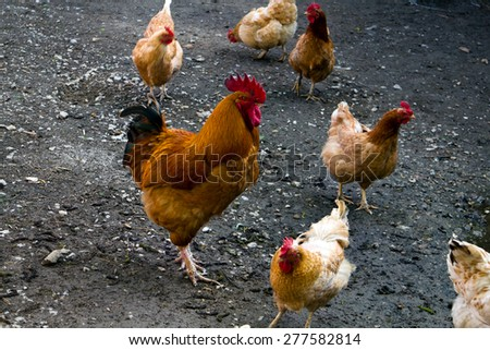 Happy Hen on the Farm - stock photo