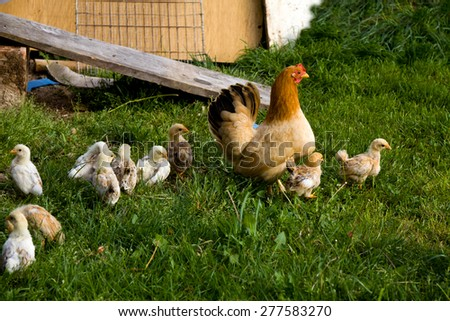 Happy Hen on the Farm, with chicks - stock photo