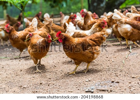 Happy hens in cage free, free range, antibiotic and hormone free farming - stock photo