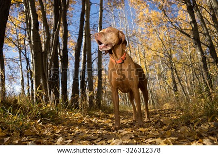 happy Hungarian pointing dog standing in forest in autumn setting - stock photo