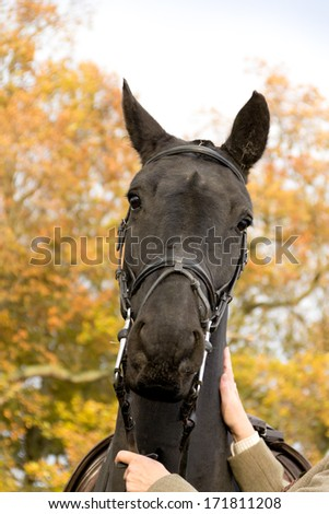 Happy hunter-close up shot of large black horse whilst he is out hunting in the english country side - stock photo