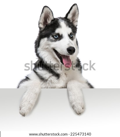 Happy husky dog portrait above white banner. isolated on white - stock photo