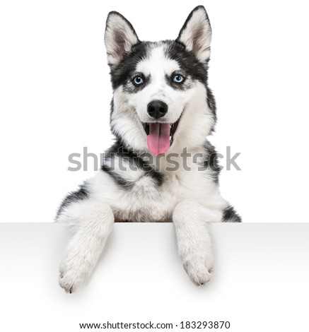 Happy husky dog portrait above white banner. isolated on white backdround - stock photo