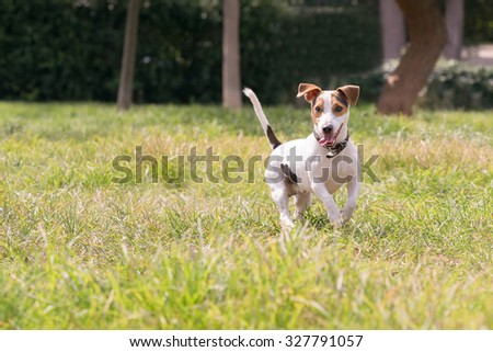 Happy jack russell dog at a park.
