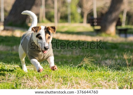 Happy Jack Russell dog playing and running at a park. - stock photo
