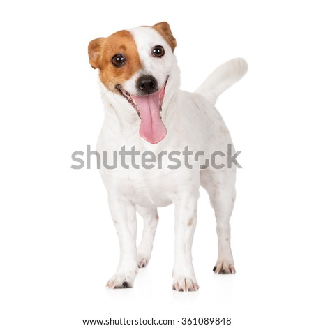 happy jack russell terrier dog on white