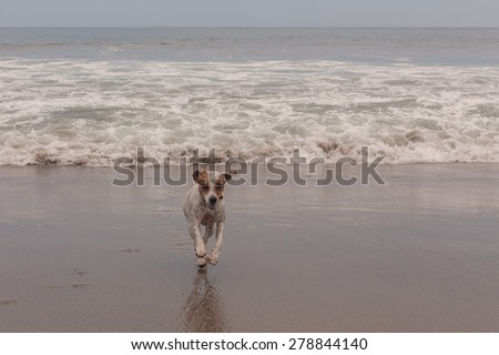 Happy Jack Russell Terrier Dog Runs, Jumps And Plays In The Foamy Waves Of The Pacific Ocean  - stock photo