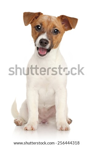 Happy Jack Russell terrier puppy on a white background - stock photo