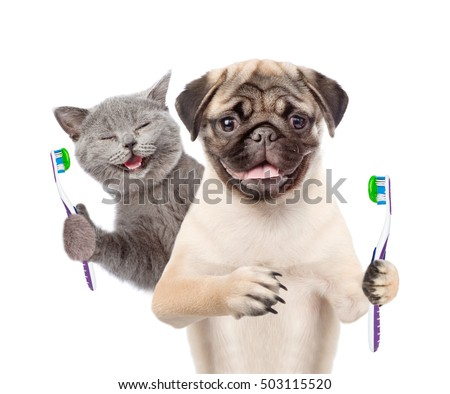 Happy kitten and pug puppy holding a toothbrushes. isolated on white background