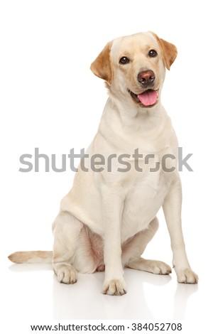 Happy Labrador dog sits on a white background - stock photo