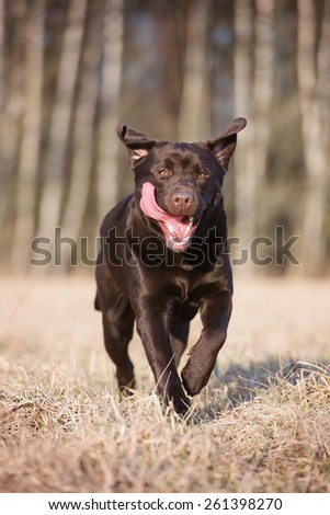 happy labrador retriever dog running