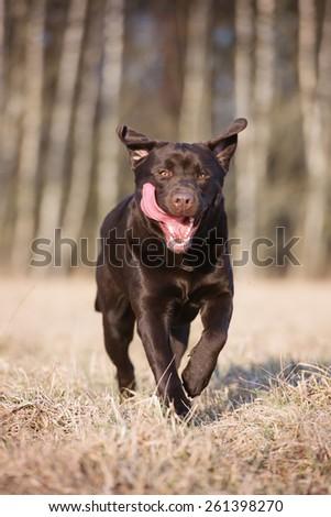 happy labrador retriever dog running  - stock photo