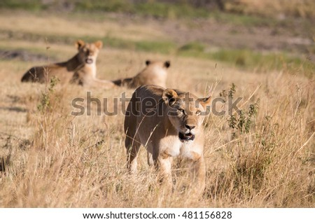 Happy lions on african savannah in Kenya