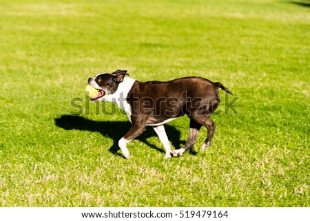 happy little boston terrier playing with a tennis ball