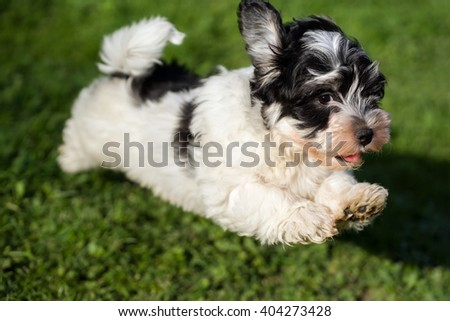 Happy little havanese puppy dog is running and jumping towards camera in the grass - stock photo