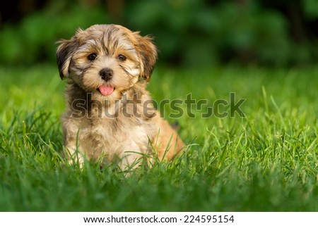 Happy little havanese puppy dog is sitting in the grass and looking at camera - stock photo