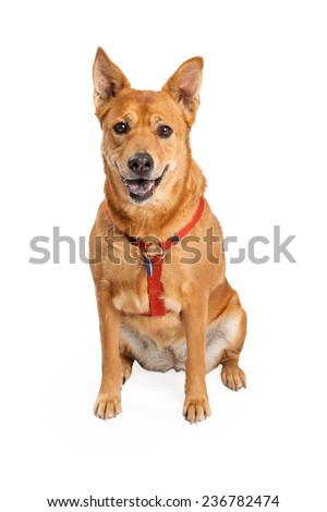Happy looking Shiba Inu and Carolina Mix Breed Dog sitting while looking at the camera and wearing a red harness.  - stock photo
