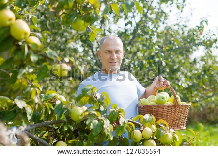 Happy man gathers apples in the garden