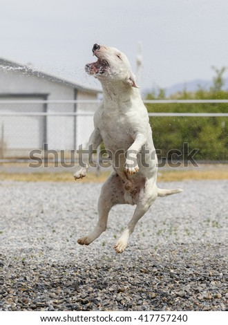 Happy miniature bull terrier jumping to play with the water - stock photo