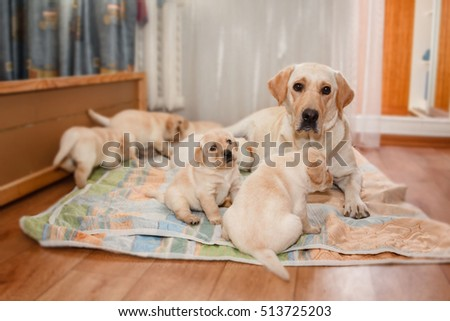 happy mother Labrador with puppies