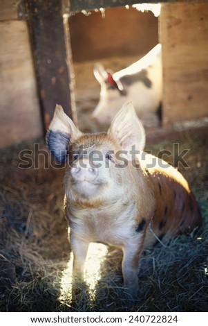 happy pet pigs - stock photo