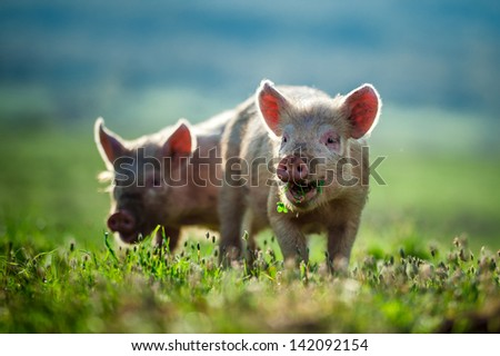 Happy piglets eat grass - stock photo