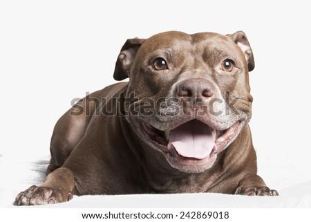happy pit bull - stock photo