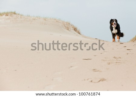 Happy playful berner sennen dog outdoors in dune landscape. Enjoying nature. Stormy day. - stock photo