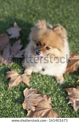 Happy Pomeranian on grass with autumn leaves