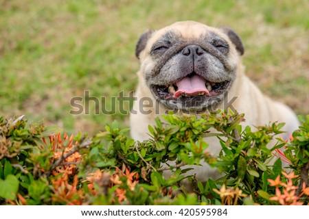 happy pug dog sitting behind shrub. - stock photo