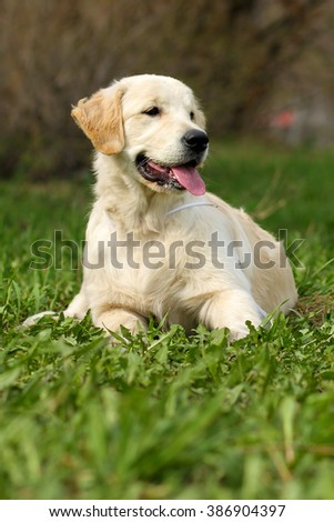 happy puppy Golden Retriever lying on the grass