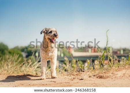 happy purebred curly red and white dog in summer - stock photo