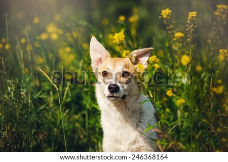 happy purebred red and white dog in flowers