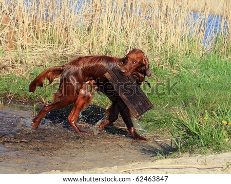 happy red dog plays on river bank