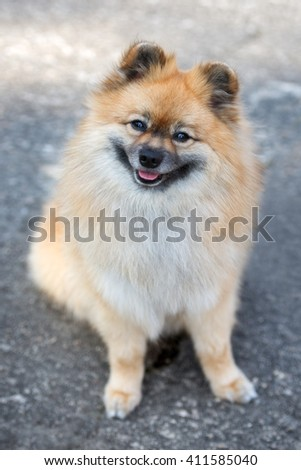 happy red spitz dog sitting outdoors - stock photo