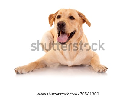 Happy Retriever Labrador dog of a yellow ivory shade in studio