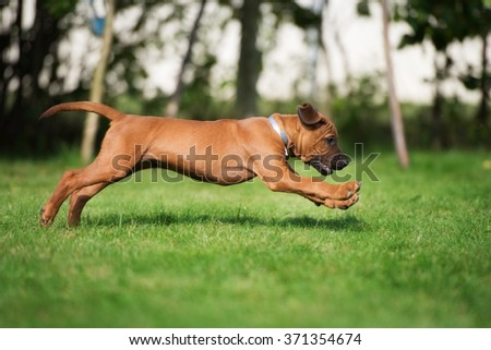 happy rhodesian ridgeback puppy playing outdoors in summer - stock photo