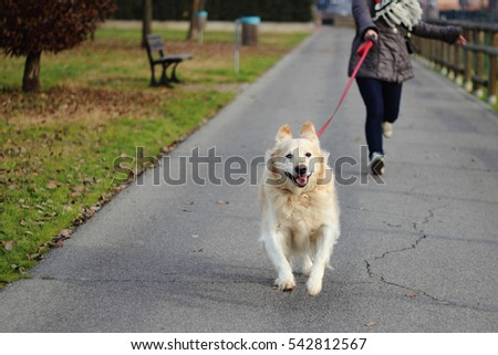 Happy running dog Golden Retriver