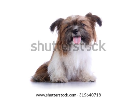 Happy shih tzu puppy sitting and smiling, isolated on white background