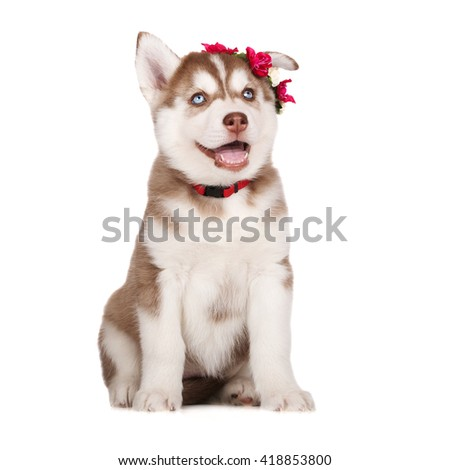 happy siberian husky puppy with a flower crown