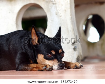 happy sleepy black fat lovely miniature pinscher dog laying flat on ceramics tiles floor on a sunny day in summer - stock photo