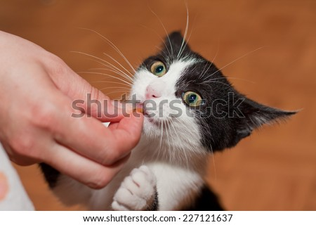 Happy small black and white kitten eating from hand