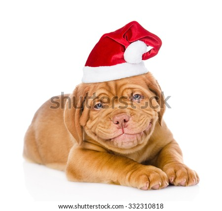 happy smiling Bordeaux puppy dog  in red santa hat. isolated on white background