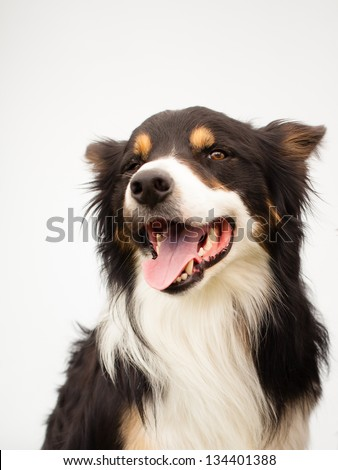 happy smiling border-collie dog in studio with white background - stock photo