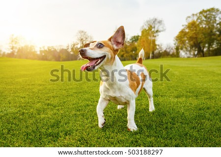 Happy smiling cute dog Jack Russell terrier looking side. Outside walking playing with your pet. Summer sunset moments. series of photos