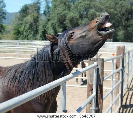Happy Smiling Morgan Horse - stock photo