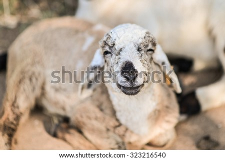 Happy smiling sheep. - stock photo